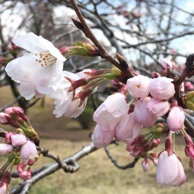 春欄間! 桜咲く4月、スタートの季節です
